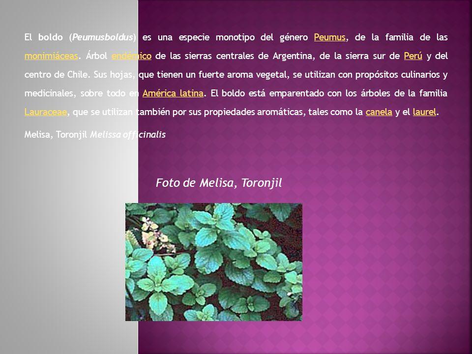 El boldo (Peumusboldus) es una especie monotipo del género Peumus, de la familia de las monimiáceas. Árbol endémico de las sierras centrales de Argent