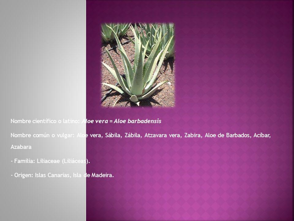 Nombre científico o latino: Aloe vera = Aloe barbadensis Nombre común o vulgar: Aloe vera, Sábila, Zábila, Atzavara vera, Zabira, Aloe de Barbados, Ac