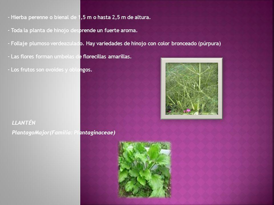 - Hierba perenne o bienal de 1,5 m o hasta 2,5 m de altura. - Toda la planta de hinojo desprende un fuerte aroma. - Follaje plumoso verdeazulado. Hay