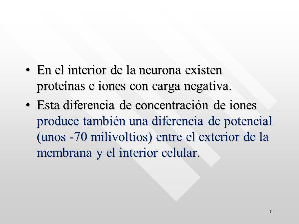En el interior de la neurona existen proteínas e iones con carga negativa.En el interior de la neurona existen proteínas e iones con carga negativa.