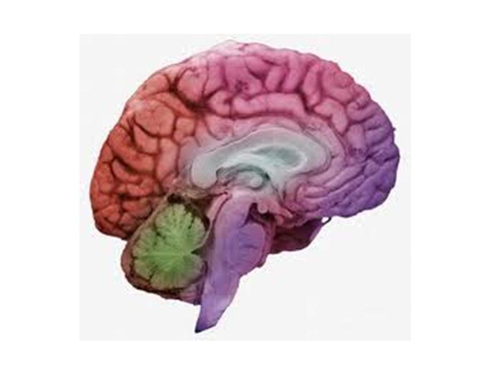 13.- ¿De qué color es nuestro cerebro.