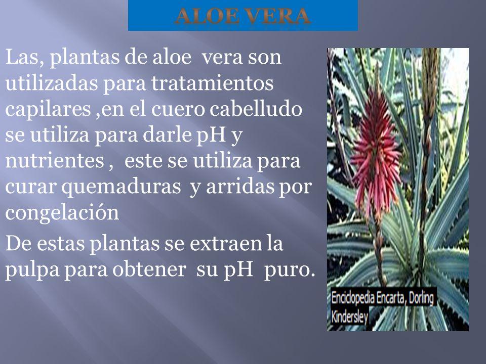 Las, plantas de aloe vera son utilizadas para tratamientos capilares,en el cuero cabelludo se utiliza para darle pH y nutrientes, este se utiliza para