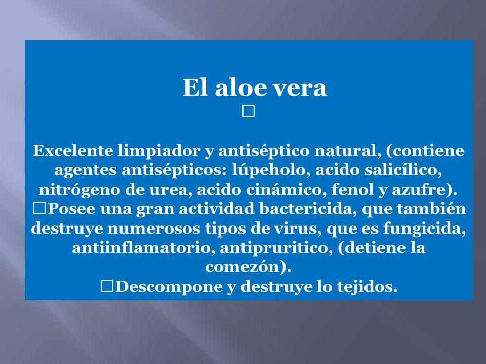 El aloe vera — Excelente limpiador y antiséptico natural, (contiene agentes antisépticos: lúpeholo, acido salicílico, nitrógeno de urea, acido cinámic