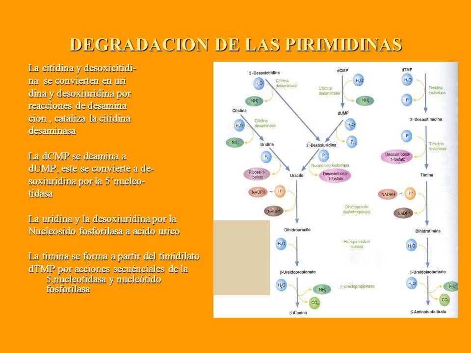 DEGRADACION DE LAS PIRIMIDINAS La citidina y desoxicitidi- na se convierten en uri dina y desoxiuridina por reacciones de desamina cion, cataliza la citidina desaminasa La dCMP se deamina a dUMP, este se convierte a de- soxiuridina por la 5´nucleo- tidasa La uridina y la desoxiuridina por la Nucleosido fosforilasa a acido urico La timina se forma a partir del timidilato dTMP por acciones secuénciales de la 5,nucleotidasa y nucleótido fosforilasa