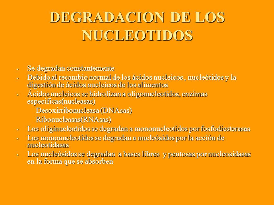 DEGRADACION DE LOS NUCLEOTIDOS Se degradan constantemente Se degradan constantemente Debido al recambio normal de los ácidos nucleicos, nucleótidos y la digestión de ácidos nucleicos de los alimentos Debido al recambio normal de los ácidos nucleicos, nucleótidos y la digestión de ácidos nucleicos de los alimentos Ácidos nucleicos se hidrolizan a oligonucleotidos, enzimas especificas(nucleasas) Ácidos nucleicos se hidrolizan a oligonucleotidos, enzimas especificas(nucleasas) Desoxirribonucleasa (DNAsas) Desoxirribonucleasa (DNAsas) Ribonucleasas(RNAsas) Ribonucleasas(RNAsas) Los oliginucleotidos se degradan a mononucleotidos por fosfodiesterasas Los oliginucleotidos se degradan a mononucleotidos por fosfodiesterasas Los mononucleotidos se degradan a nucleósidos por la acción de nucleotidasas Los mononucleotidos se degradan a nucleósidos por la acción de nucleotidasas Los nucleósidos se degradan a bases libres y pentosas por nucleosidasas en la forma que se absorben Los nucleósidos se degradan a bases libres y pentosas por nucleosidasas en la forma que se absorben