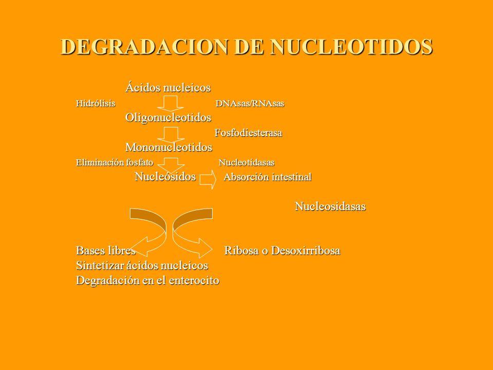 DEGRADACION DE NUCLEOTIDOS Ácidos nucleicos Ácidos nucleicos Hidrólisis DNAsas/RNAsas Hidrólisis DNAsas/RNAsas Oligonucleotidos Oligonucleotidos Fosfodiesterasa Fosfodiesterasa Mononucleotidos Mononucleotidos Eliminación fosfato Nucleotidasas Eliminación fosfato Nucleotidasas Nucleósidos Absorción intestinal Nucleósidos Absorción intestinal Nucleosidasas Nucleosidasas Bases libres Ribosa o Desoxirribosa Bases libres Ribosa o Desoxirribosa Sintetizar ácidos nucleicos Sintetizar ácidos nucleicos Degradación en el enterocito Degradación en el enterocito