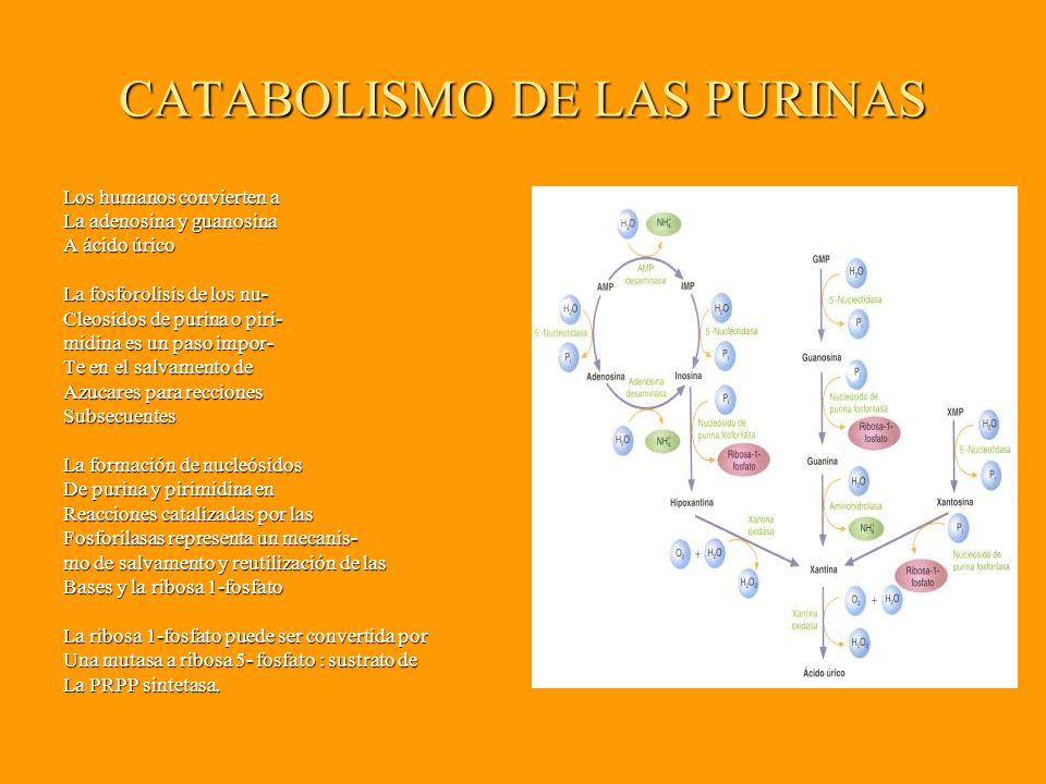 CATABOLISMO DE LAS PURINAS Los humanos convierten a La adenosina y guanosina A ácido úrico La fosforolisis de los nu- Cleosidos de purina o piri- midina es un paso impor- Te en el salvamento de Azucares para recciones Subsecuentes La formación de nucleósidos De purina y pirimidina en Reacciones catalizadas por las Fosforilasas representa un mecanis- mo de salvamento y reutilización de las Bases y la ribosa 1-fosfato La ribosa 1-fosfato puede ser convertida por Una mutasa a ribosa 5- fosfato : sustrato de La PRPP sintetasa.