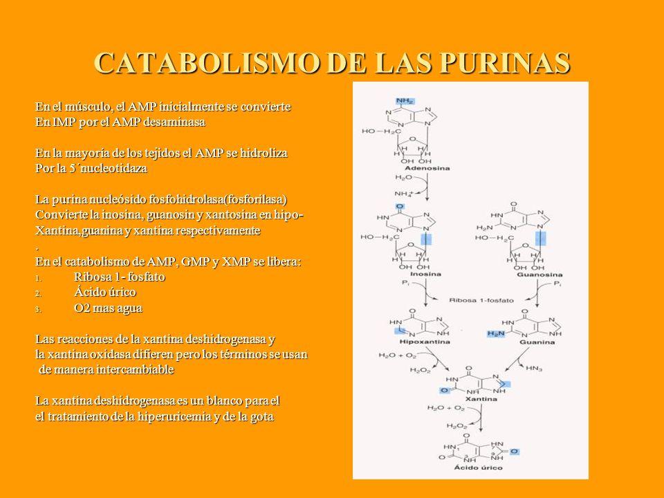 CATABOLISMO DE LAS PURINAS En el músculo, el AMP inicialmente se convierte En IMP por el AMP desaminasa En la mayoría de los tejidos el AMP se hidroliza Por la 5´nucleotidaza La purina nucleósido fosfohidrolasa(fosforilasa) Convierte la inosina, guanosin y xantosina en hipo- Xantina,guanina y xantina respectivamente.