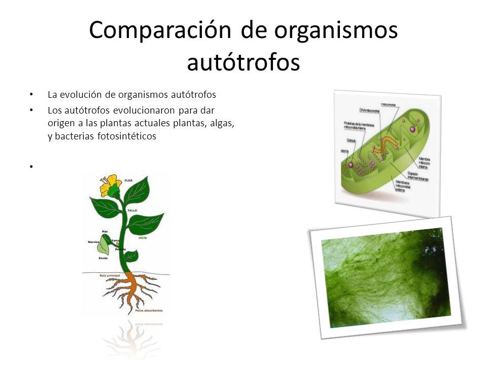 Comparación de organismos autótrofos La evolución de organismos autótrofos Los autótrofos evolucionaron para dar origen a las plantas actuales plantas