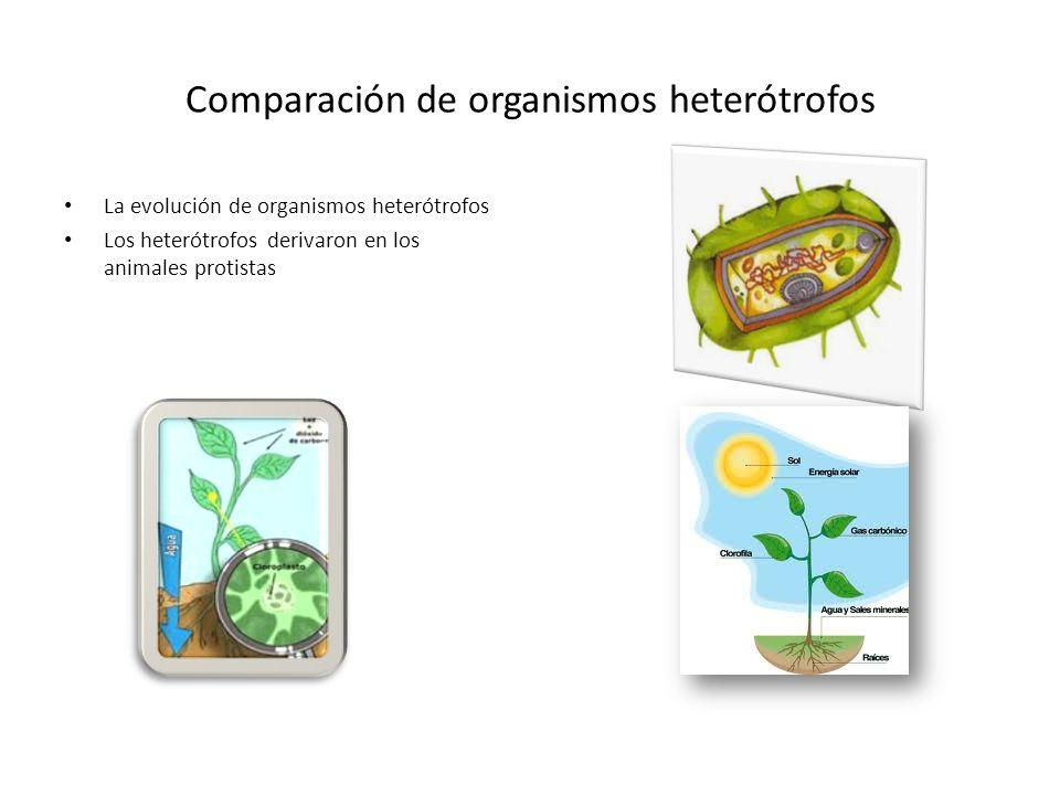 Comparación de organismos heterótrofos La evolución de organismos heterótrofos Los heterótrofos derivaron en los animales protistas