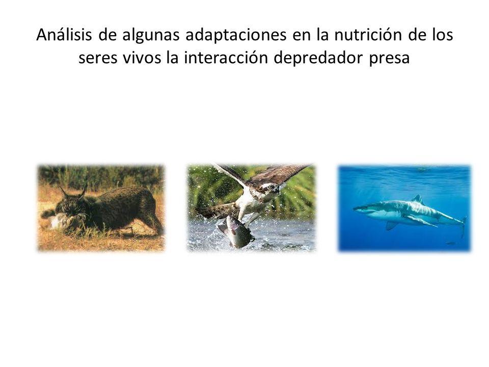 Análisis de algunas adaptaciones en la nutrición de los seres vivos: la interacción depredador presa En términos generales se habla de depredación es cuando una especie se come a otra, algunos depredadores son carnívoros y herbívoros