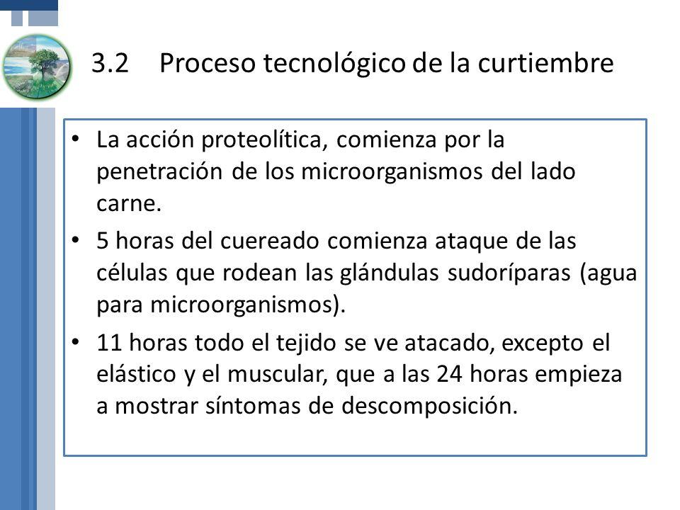 La acción proteolítica, comienza por la penetración de los microorganismos del lado carne. 5 horas del cuereado comienza ataque de las células que rod