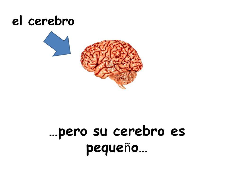 …pero su cerebro es peque ñ o… el cerebro