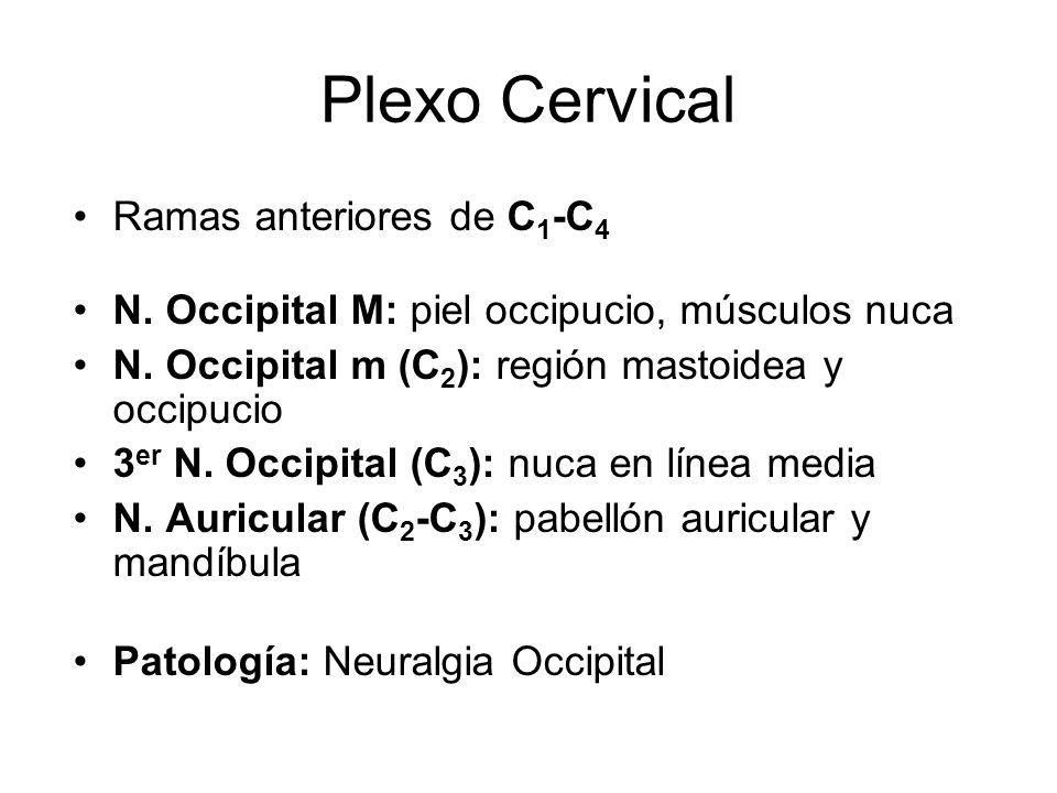 Plexo Cervical Ramas anteriores de C 1 -C 4 N. Occipital M: piel occipucio, músculos nuca N. Occipital m (C 2 ): región mastoidea y occipucio 3 er N.