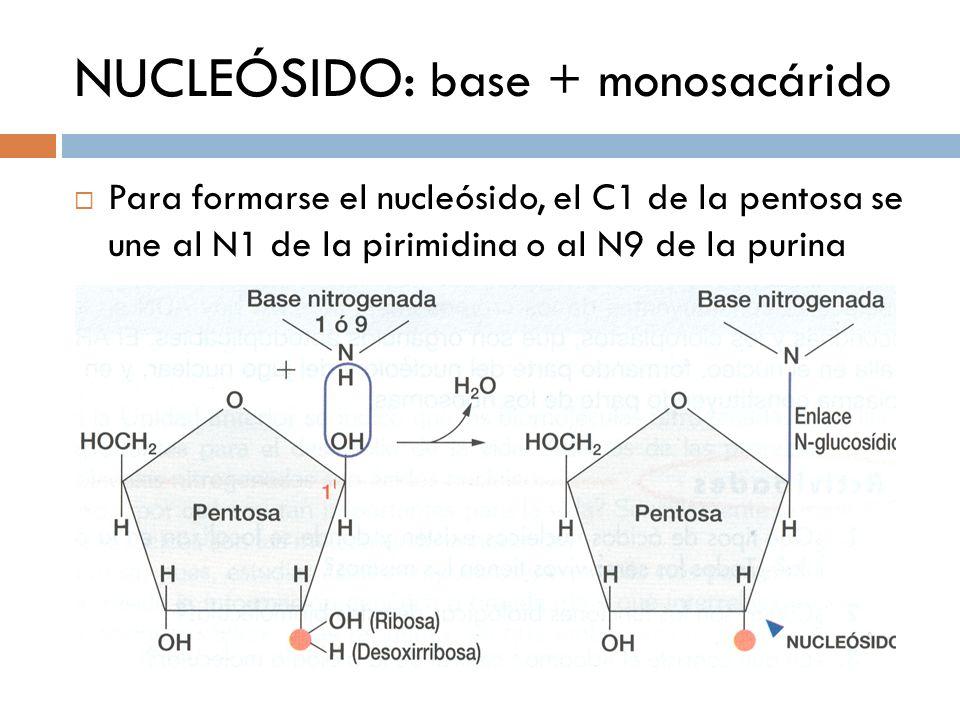 NUCLEÓSIDO: base + monosacárido Para formarse el nucleósido, el C1 de la pentosa se une al N1 de la pirimidina o al N9 de la purina