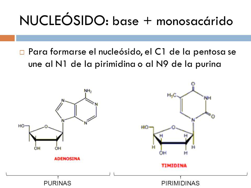 NUCLEÓSIDO: base + monosacárido Para formarse el nucleósido, el C1 de la pentosa se une al N1 de la pirimidina o al N9 de la purina PURINASPIRIMIDINAS