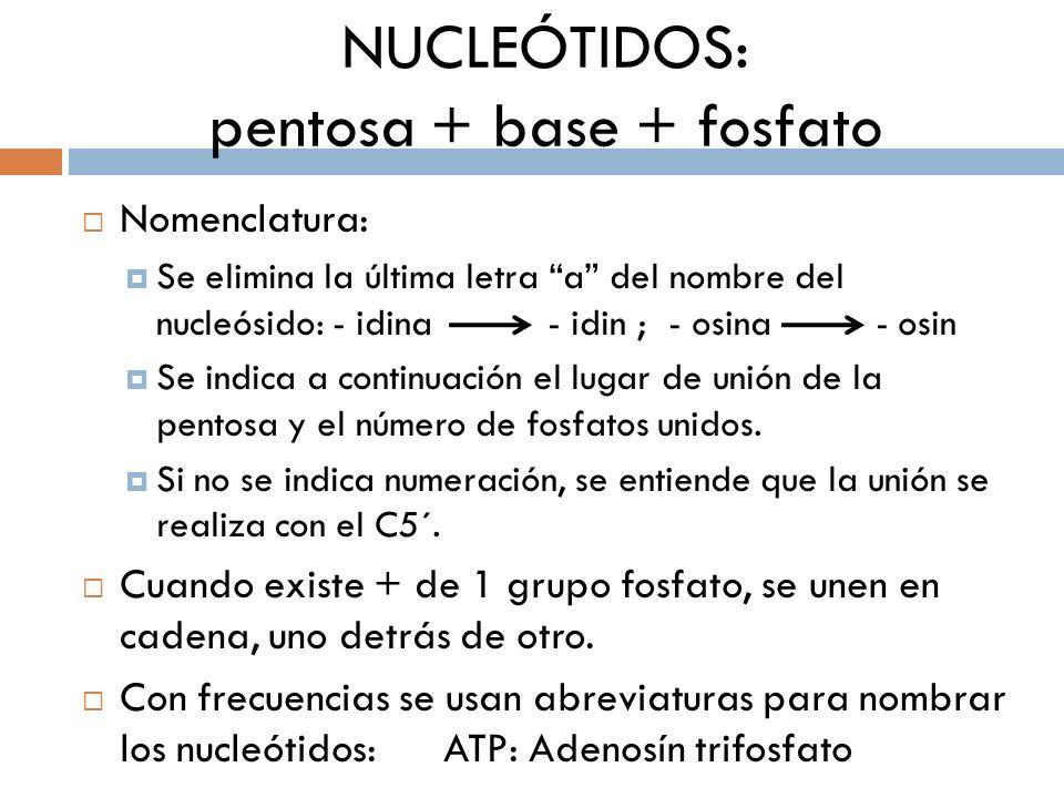 NUCLEÓTIDOS: pentosa + base + fosfato Nomenclatura: Se elimina la última letra a del nombre del nucleósido: - idina - idin ; - osina - osin Se indica