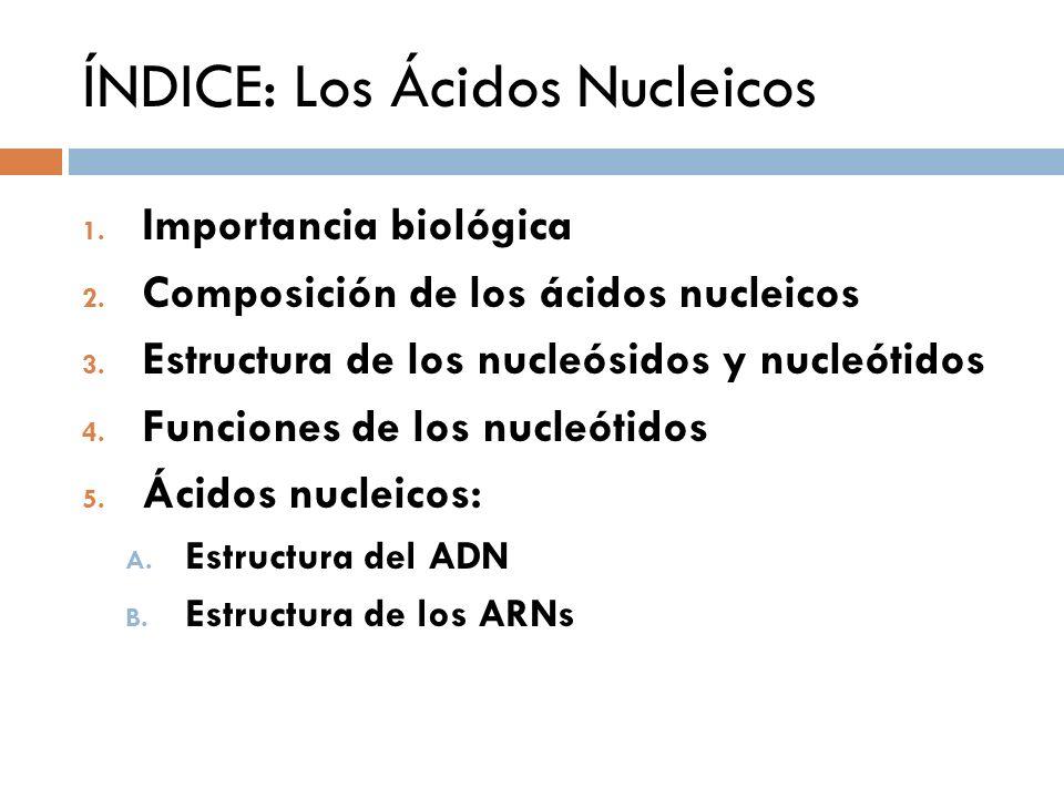 ÍNDICE: Los Ácidos Nucleicos 1. Importancia biológica 2. Composición de los ácidos nucleicos 3. Estructura de los nucleósidos y nucleótidos 4. Funcion