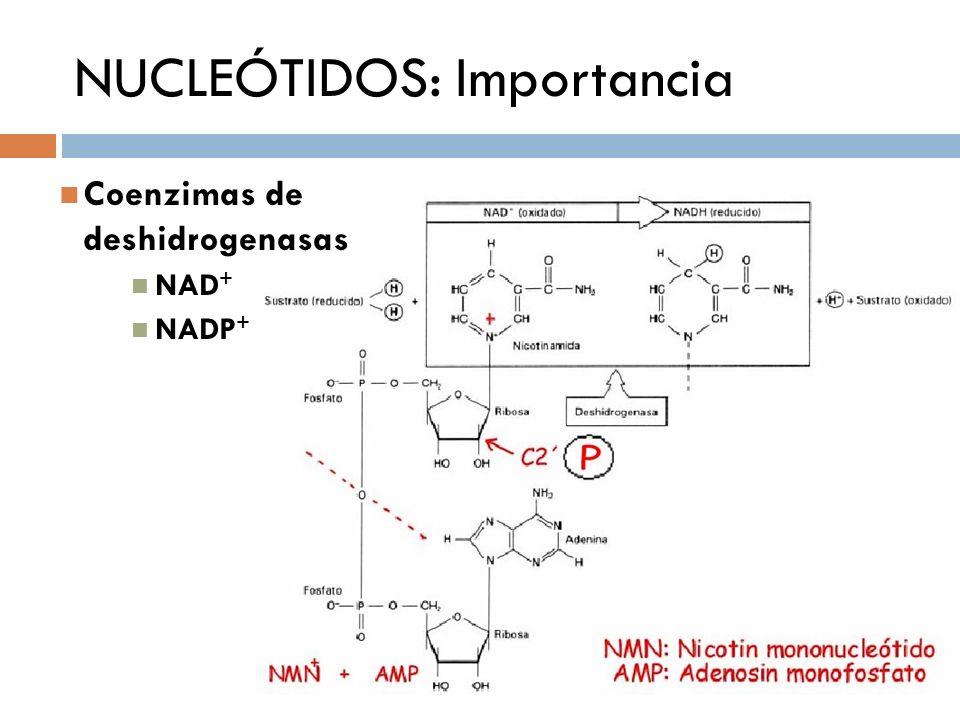 NUCLEÓTIDOS: Importancia Coenzimas de deshidrogenasas NAD + NADP +