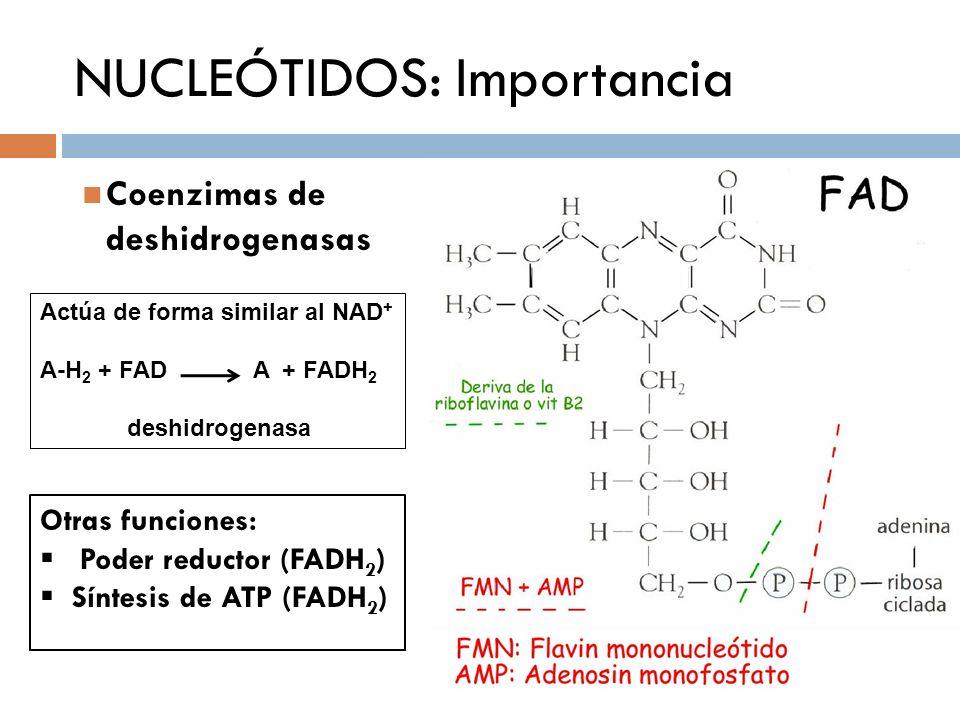 NUCLEÓTIDOS: Importancia Coenzimas de deshidrogenasas Actúa de forma similar al NAD + A-H 2 + FAD A + FADH 2 deshidrogenasa Otras funciones: Poder red
