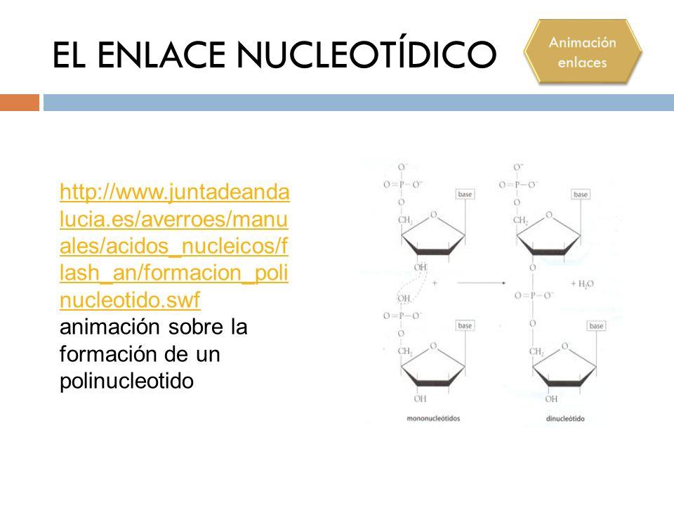 EL ENLACE NUCLEOTÍDICO http://www.juntadeanda lucia.es/averroes/manu ales/acidos_nucleicos/f lash_an/formacion_poli nucleotido.swf http://www.juntadea