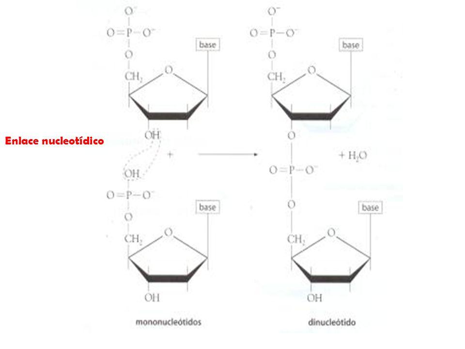 Enlace nucleotídico