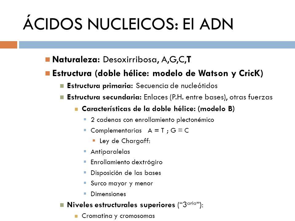 ÁCIDOS NUCLEICOS: El ADN Naturaleza: Desoxirribosa, A,G,C,T Estructura (doble hélice: modelo de Watson y CricK) Estructura primaria: Secuencia de nucl