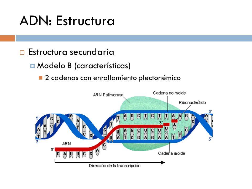 ADN: Estructura Estructura secundaria Modelo B (características) 2 cadenas con enrollamiento plectonémico