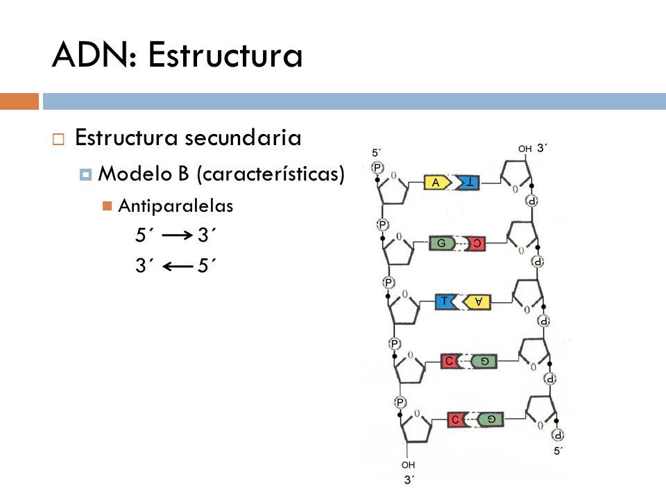 ADN: Estructura Estructura secundaria Modelo B (características) Antiparalelas 5´ 3´ 3´ 5´