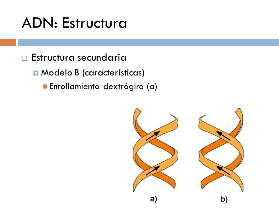 ADN: Estructura Estructura secundaria Modelo B (características) Enrollamiento dextrógiro (a)