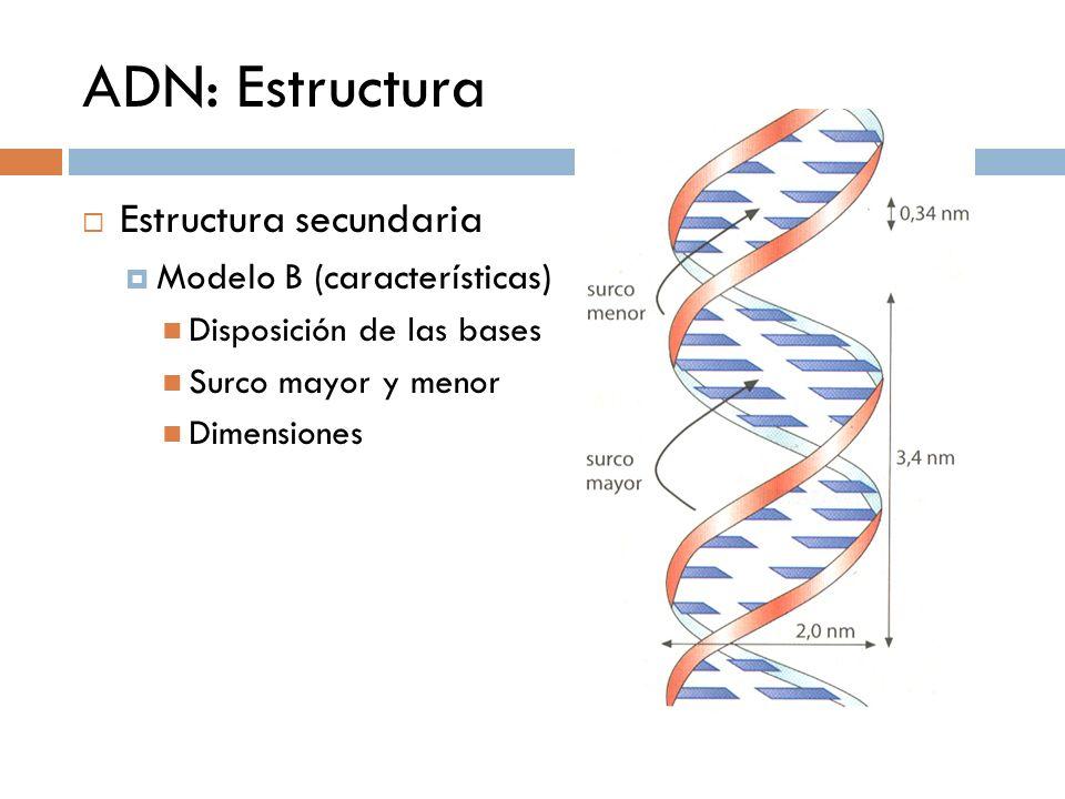 ADN: Estructura Estructura secundaria Modelo B (características) Disposición de las bases Surco mayor y menor Dimensiones
