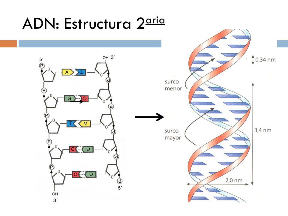 ADN: Estructura 2 aria