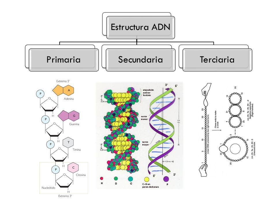 Estructura ADNPrimariaSecundariaTerciaria