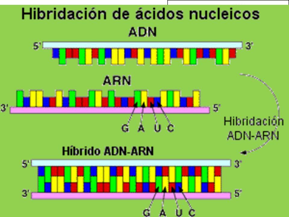 ADN: Propiedades Desnaturalización: +/- 100ºC o Factores Tª, pH, sales Renaturalización: 65ºC o Hibridación o Utilidad Estabilidad Replicable Especifi