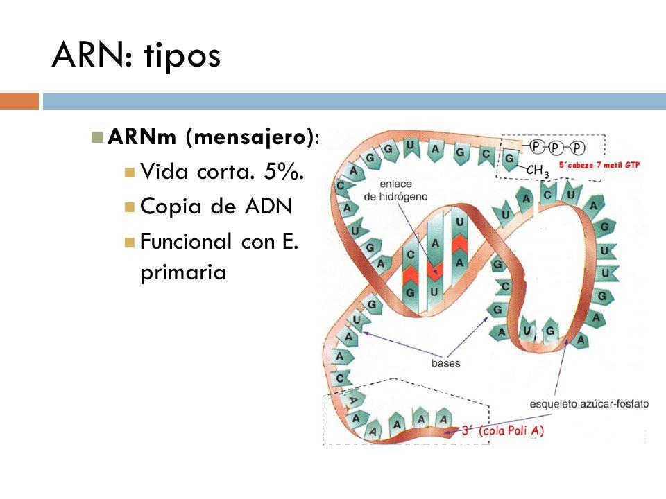 ARN: tipos ARNm (mensajero): Vida corta. 5%. Copia de ADN Funcional con E. primaria