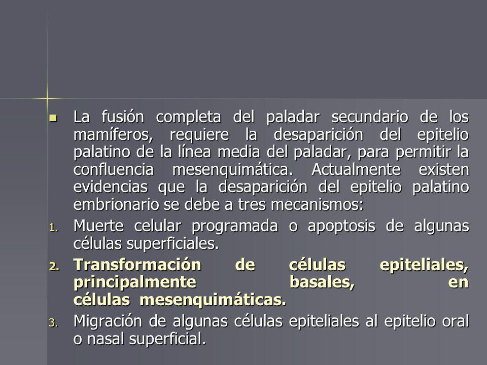 La fusión completa del paladar secundario de los mamíferos, requiere la desaparición del epitelio palatino de la línea media del paladar, para permiti