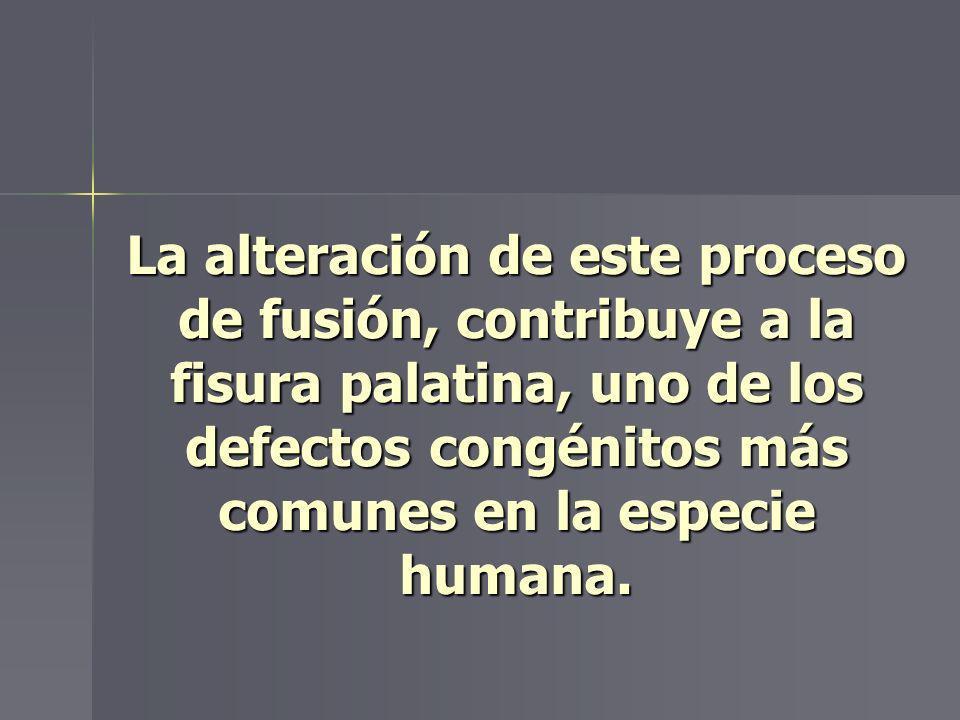 La alteración de este proceso de fusión, contribuye a la fisura palatina, uno de los defectos congénitos más comunes en la especie humana.