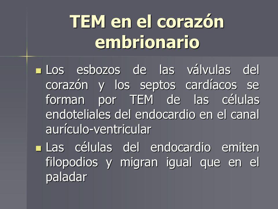 TEM en el corazón embrionario Los esbozos de las válvulas del corazón y los septos cardíacos se forman por TEM de las células endoteliales del endocar