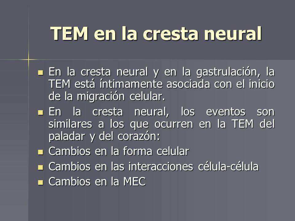 TEM en la cresta neural En la cresta neural y en la gastrulación, la TEM está íntimamente asociada con el inicio de la migración celular. En la cresta