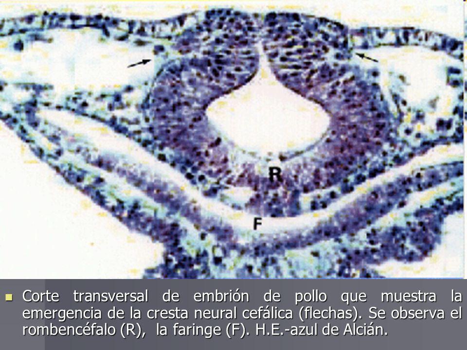 Corte transversal de embrión de pollo que muestra la emergencia de la cresta neural cefálica (flechas). Se observa el rombencéfalo (R), la faringe (F)