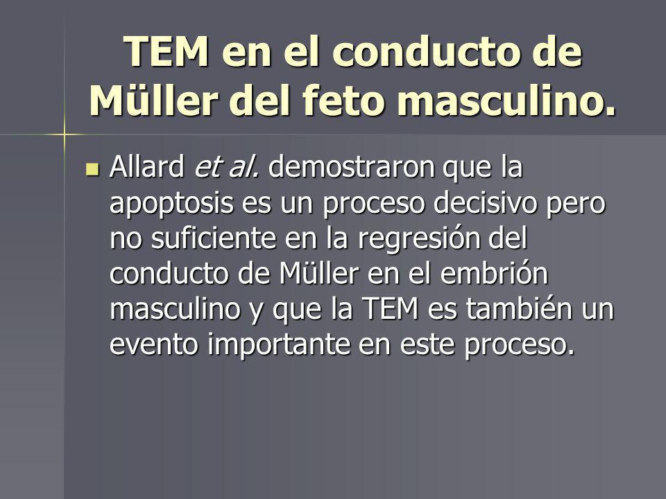 TEM en el conducto de Müller del feto masculino. Allard et al. demostraron que la apoptosis es un proceso decisivo pero no suficiente en la regresión