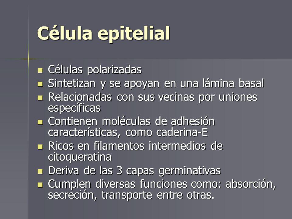 Célula epitelial Células polarizadas Células polarizadas Sintetizan y se apoyan en una lámina basal Sintetizan y se apoyan en una lámina basal Relacio