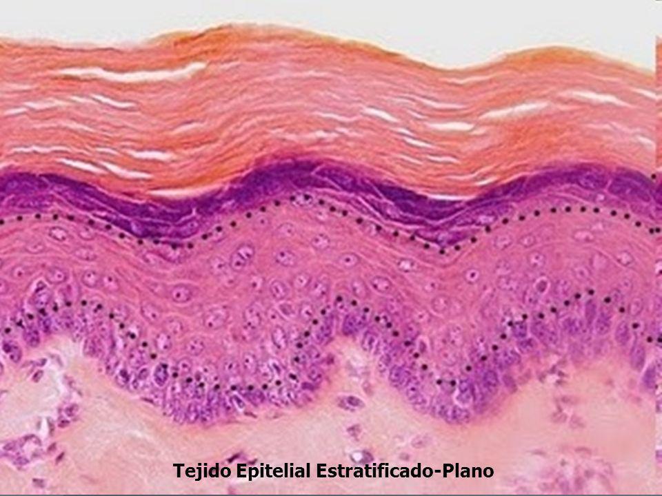 Tejido Epitelial Estratificado-Plano
