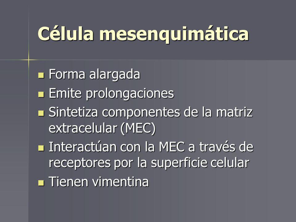 Célula mesenquimática Forma alargada Forma alargada Emite prolongaciones Emite prolongaciones Sintetiza componentes de la matriz extracelular (MEC) Si