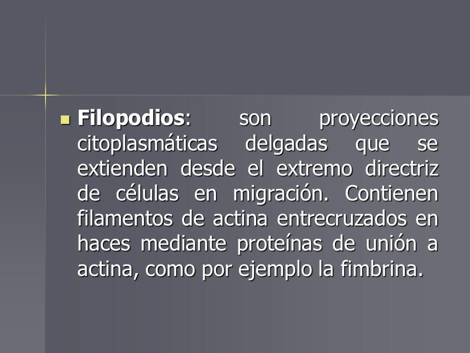 Filopodios: son proyecciones citoplasmáticas delgadas que se extienden desde el extremo directriz de células en migración. Contienen filamentos de act