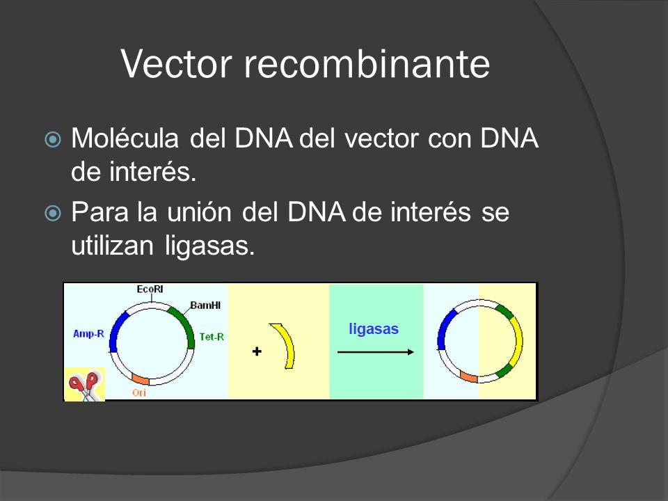 Vector recombinante Molécula del DNA del vector con DNA de interés. Para la unión del DNA de interés se utilizan ligasas.