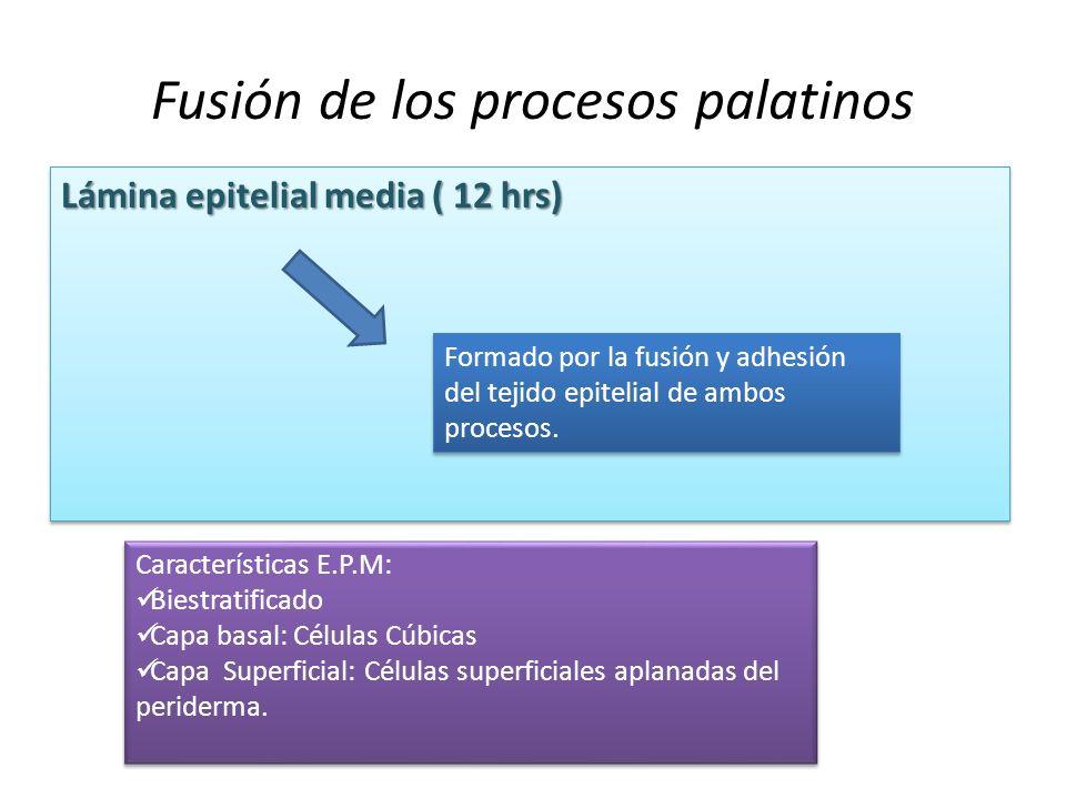 Fusión de los procesos palatinos Lámina epitelial media ( 12 hrs) Formado por la fusión y adhesión del tejido epitelial de ambos procesos. Característ
