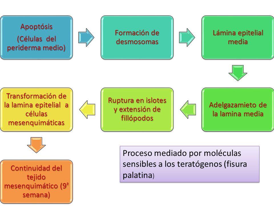 Apoptósis (Células del periderma medio) Formación de desmosomas Lámina epitelial media Adelgazamieto de la lamina media Ruptura en islotes y extensión