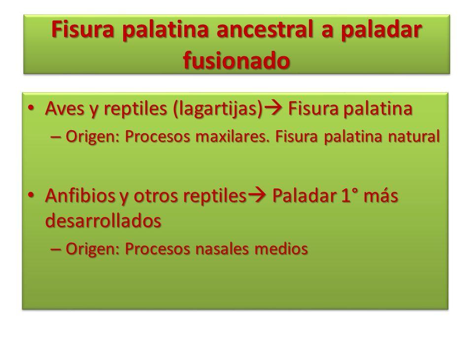 Fisura palatina ancestral a paladar fusionado Aves y reptiles (lagartijas) Fisura palatina Aves y reptiles (lagartijas) Fisura palatina – Origen: Proc