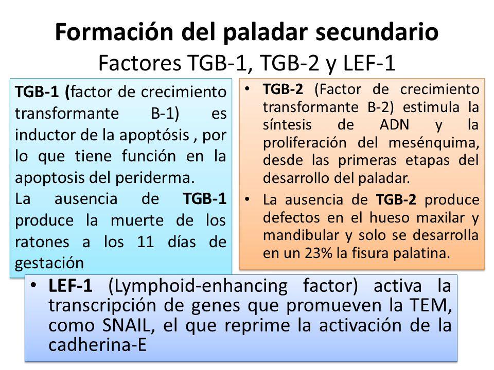 Formación del paladar secundario Factores TGB-1, TGB-2 y LEF-1 TGB-2 (Factor de crecimiento transformante B-2) estimula la síntesis de ADN y la prolif